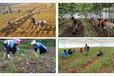 白芨種植生態效益分析,白芨價格