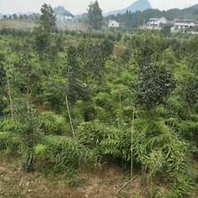 农之福老虎姜种植,凉山老虎姜种苗质量可靠图片