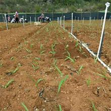 毕节优质农之福白芨种苗厂家直销图片