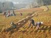 農之福白芨種植技術,內江白芨種苗量大從優