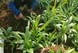 农之福白芨价格,眉山优质农之福白芨种苗售后保障
