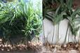 農之福老虎姜種植,九龍坡黃精種植基地