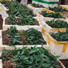 农之福黄精种植成本收益,贵阳供应农之福老虎姜种苗图片