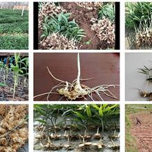 农之福黄精苗价格,秀山黄精种植技术图片