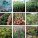农之福黄精种植技术,重庆老虎姜种苗品质优良