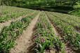 白芨苗產收益,白芨種植