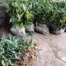 农之福黄精市场价格,老虎姜种苗出售图片