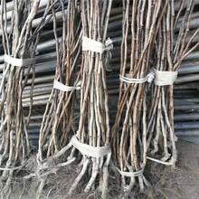 郑州大量批发山楂树苗报价 大金星山楂树苗 抗寒、抗旱图片