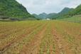 農之福白芨種植技術,供應白芨苗