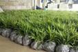 重慶銷售農之福白芨種苗售后保障,白芨種植技術
