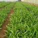 農之福白芨價格,紫花三叉白芨苗價格