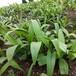 农之福白芨种苗价格,白芨种苗直销