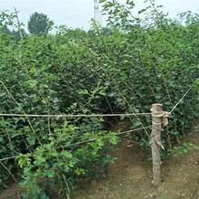 青海新品种山楂树苗报价 大五棱山楂树苗 质优价廉图片