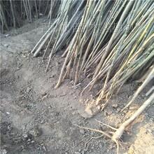 威海香椿苗价格 红油香椿树 规格0.5-5公分现货供应图片