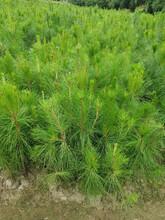 白山湿地松苗价格实惠,美国松图片