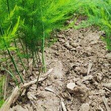 夏季芦笋种苗供应多年生蔬菜苗一年四季种植图片