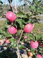 湖州秦脆苹果苗价格 大量批发 价格实惠图片