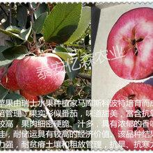 常德华硕苹果苗 爱妃苹果 正宗苹果苗 低价批发图片