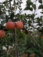 菏泽M9T337自根砧苹果苗技术图片