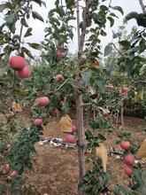 朔州锦绣海棠苹果苗图片图片