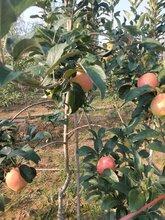 濮阳红色之爱苹果苗批发图片