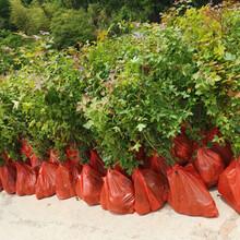 福新苗圃枫香袋苗,苏州销售枫香苗量大从优图片