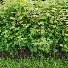 重庆销售枫香苗品质优良图片
