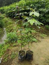 玉溪供应枫香苗量大从优,枫树苗图片