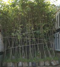 鄂州销售枫香苗优质服务图片