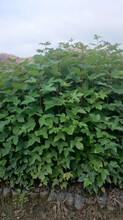 福新苗圃枫香袋苗,永州供应枫香苗量大从优图片