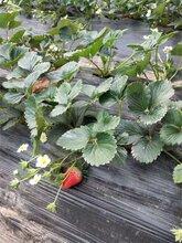 资阳草莓苗规格