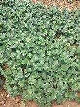 邢台大棚草莓苗种苗规格
