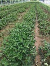 忻州甜宝草莓苗一公分