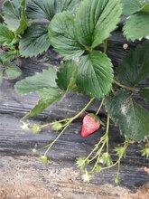 常德香野草莓苗推广