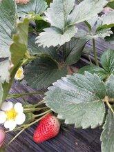 惠州红颜草莓苗口味酸甜
