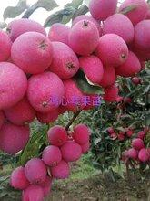 苹果树苗行情价格产量高口感好图片