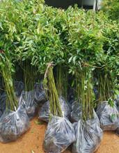 南平香樟容器苗优质服务,香樟袋苗图片