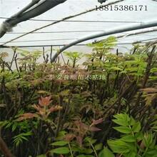 黄冈红油香椿树价格 红油香椿树 香椿树苗基地图片
