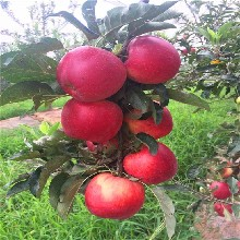 及早熟苹果树苗报价 鲁丽苹果树苗 品种齐全图片
