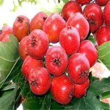 成都甜红子山楂树苗报价 大金星山楂树苗 质优价廉图片