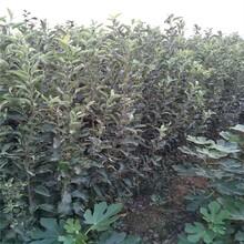 无锡两公分苹果树苗批发价格 鲁丽苹果树苗 品种齐全图片