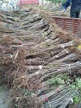 热门红油香椿树供应商 香椿苗 大棚香椿实拍图图片