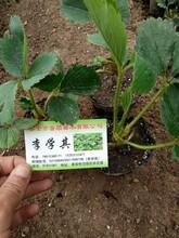九江草莓苗厂 章姬草莓苗 草莓苗出售图片