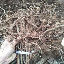 大连香椿苗批发价 红油香椿树 香椿树苗基地图片