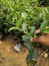 焦作生产油茶苗信誉保证,实生油茶苗图片