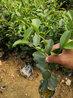 衡阳生产油茶苗厂家直销,嫁接油茶苗