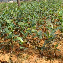 福新苗圃油茶袋苗,鹤壁普通油茶苗服务周到图片
