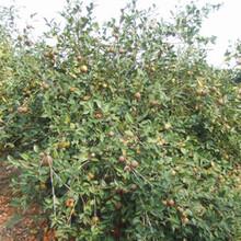 福新苗圃嫁接油茶苗,湘潭優質油茶苗量大從優圖片