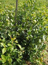 永州优质油茶苗质量可靠图片
