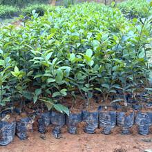 福新苗圃嫁接油茶苗,安陽生產油茶苗優質服務圖片